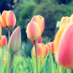 ---tulips-wallpapers-5955