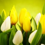 ---tulips-white-yellow-flowers-spring-12584