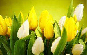 ---tulips-white-yellow-flowers-spring-12584