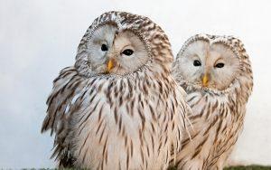 ---ural-owls-17050