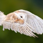 ---white-owl-wallpaper-12910