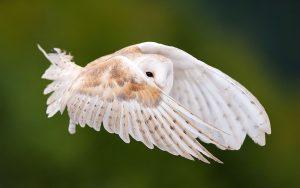 ---white-owl-wallpaper-12910