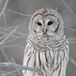 ---white-owl-wallpapers-17190