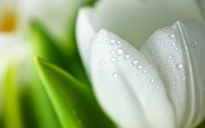 ---white-tulip-flower-17191