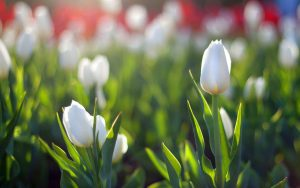 ---white-tulips-flower-17192
