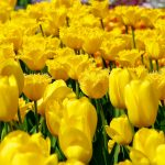 ---yellow-tulips-field-17283