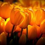 ---yellow-tulips-sunshine-17284