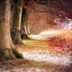 Beech trees in row with snow and autumn leaves on ground, U