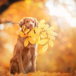 golden-retriever-5120x2880-autumn-leaves-foliage-4k-3490