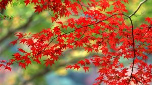 ---red-autumn-leaves-wallpaper-16388