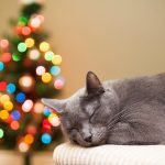 27 02 17 cat gray rest christmas tree lights bokeh holiday new year14699