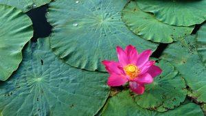 cute lotus flower hd picture