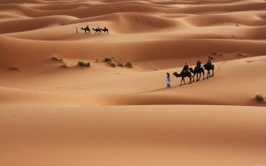 desert camel wallpaper 8308