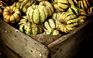 green white pumpkins autumn 9465