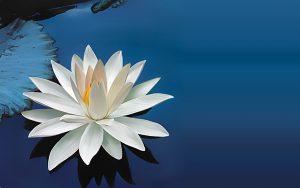 lotus flower 15614