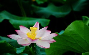 lotus flower pictures 15613