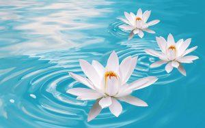 lotus flowers 15615