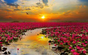lotus flowers 2880x1800 sunset hd 5732
