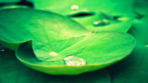 lotus leaves wallpaper 10253