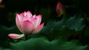 lotus pink lotus flowers 1920x1080