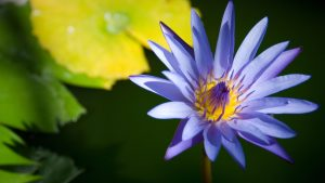 purple lotus 11417